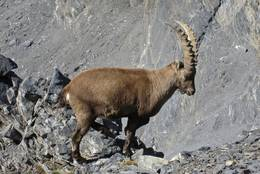 Alpensteinbock in den Walliser Alpen