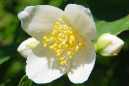 Baumanemone (Carpenteria californica)