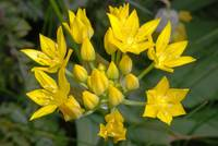Goldlauch (Allium moly)