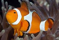 Falscher Clownfisch (Amphiprion ocellaris)