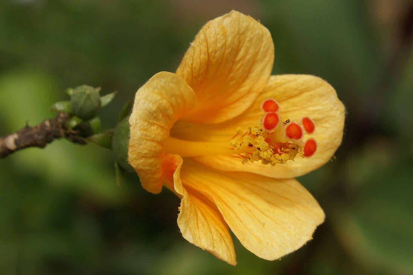 hibiscus boryanus bl te sch pfung. Black Bedroom Furniture Sets. Home Design Ideas