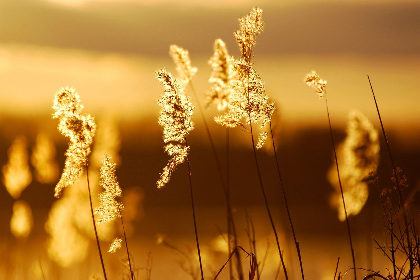 das Licht der tiefstehenden Sonne verwandelt das Schilfgras