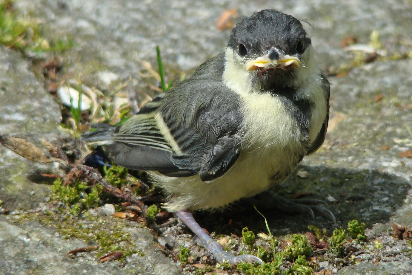 Kohlmeisenküken (Parus major)