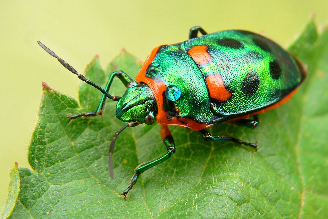 Metallic Shield Bug - eine australische Schildwanze
