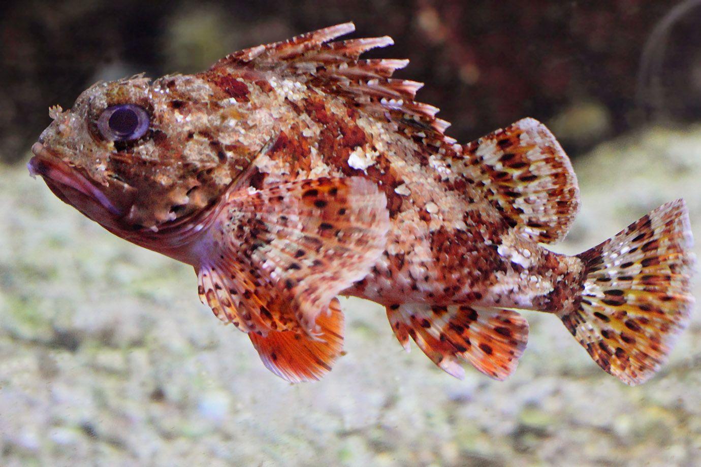 Fisch Drache