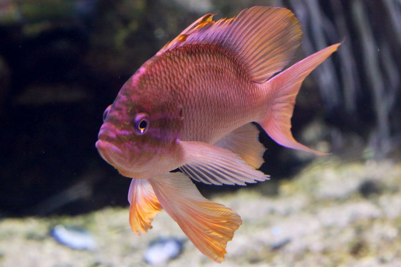 Mittelmeer-Fahnenbarsch (Anthias anthias)