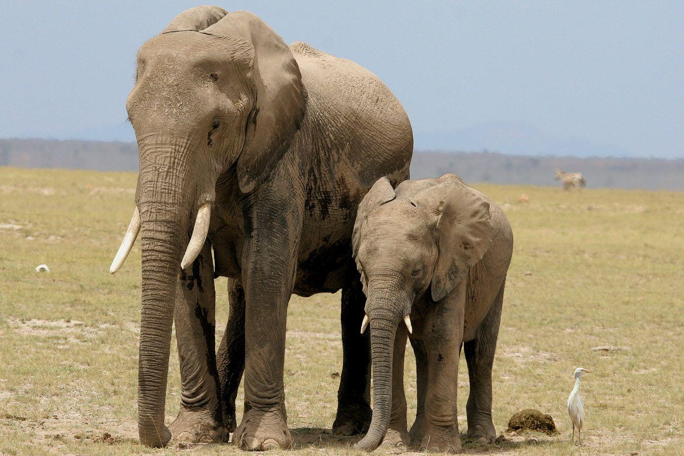 afrikanische elefanten loxodonta africana sch pfung. Black Bedroom Furniture Sets. Home Design Ideas