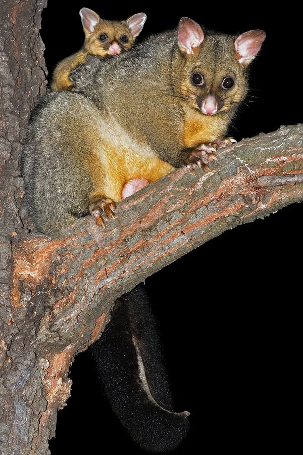 Common Brushtail Possum with young at night