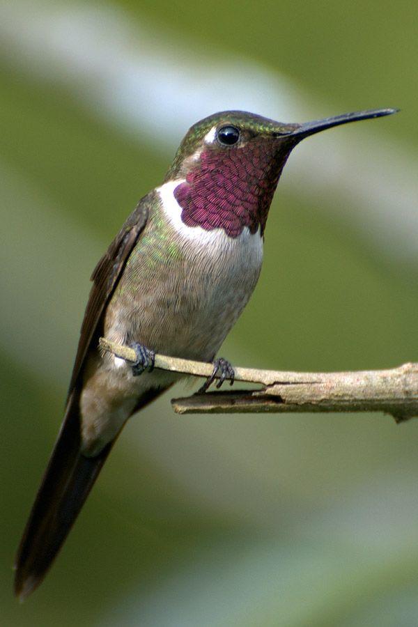 kolibri der winzige superathlet sch pfung